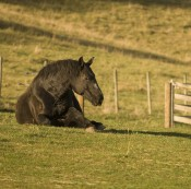 Thoroughbred Percheron Cross Horse Laying in Field with Long Shadow